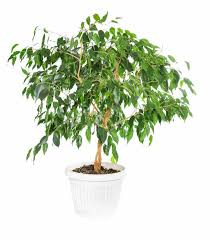 ficus ideal for indoors