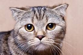 tabby cat pictures