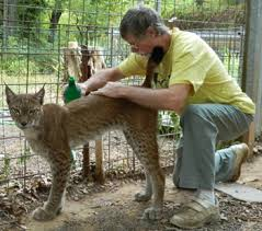 lynx size exotic cats exotic cat care and exotic cats as pets wild cats