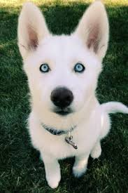 3 month old husky eyes x post from r husky