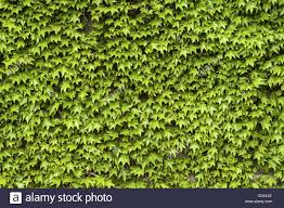 Climbing Plants On The Wall Stock Photo Picture And Royalty Free Wall Climbing Plants