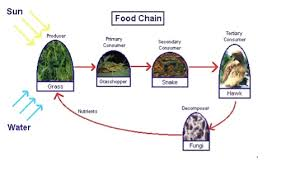 Create Flow Charts That Show Four Different Food Chains Lesson 4 Food Chains Mpalalive