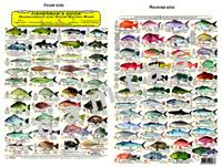 Australian Reef Fish Species Chart Fishermans Guide Queensland Great Barrier Reef