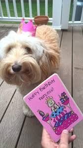 hello this is dog banana. winnie the labradoodle\u0027s first birthday -- peanut butter and banana pupcakes a dog hello this is s