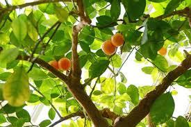 How To Grow Citrus Trees  Organic Gardening BlogSmall Orange Fruit On Tree