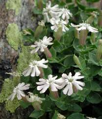 Silene cordifolia