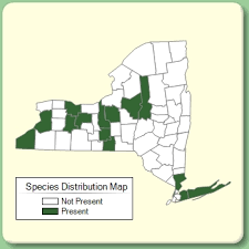 Cynosurus cristatus - Species Page - NYFA: New York Flora Atlas