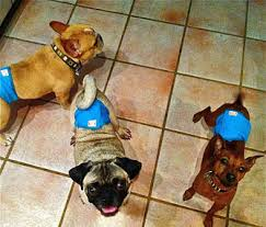 best flooring for pets. Dr. Patty Khuly\u0027s Dogs Wearing Belly Bands Best Flooring For Pets B