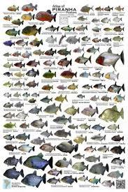 A Swarm Of Piranha Species Monsterfishkeepers Com
