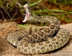 rattlesnake striking at camera. Beautiful Rattlesnake Politics Today Massachusetts Rattlesnake Roundup Raises Fears Of  To Striking At Camera