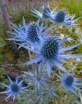 Funky, Fun Garden Plants: I have a love for funky, fun and unique garden  plants. Here's one to try. It's called Sea Holly, and it's actually in the  thistle ...