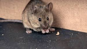 diffe ways to control rats in the garden choose as per your choice