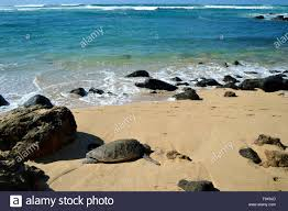 Green Sea Turtle Chelonia Mynas Rests On The Shore Of