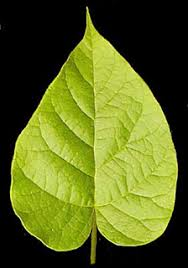 and many more lobed leaf the margin