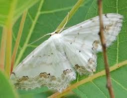 Risultati immagini per farfalla bianca immagini