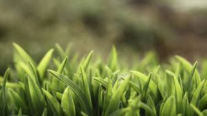 Green grass, 4K, 4k wallpaper, macro