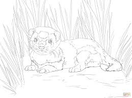 Baby Ferret Coloring Pages Get Coloring Pages