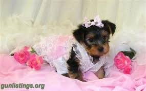 teacup yorkie puppies for adoption. Contemporary Teacup Inside Teacup Yorkie Puppies For Adoption L