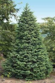 Overall I think these are the #1 best Christmas tree, but in a lot with  mixed species, they will usually be the most expensive.