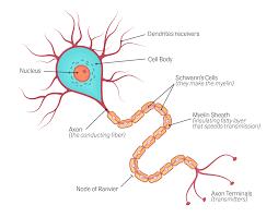ระบบประสาทส่วนกลาง ประกอบไปด้วยอวัยวะใดบ้าง และทำหน้าที่อย่างไร