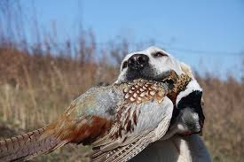 chocolate lab pheasant hunting. Modren Chocolate Both Types Of Labs Make Terrific Family Dogs As Tom Explains U201cNinetyfive  Percent Are House That Means That From Seven Weeks On  On Chocolate Lab Pheasant Hunting A
