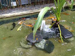 a koi pond is a very entertaining and soothing garden fixture that many home owners like to have although it may seem that having one requires a lot of