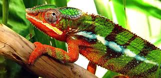 Do Chameleons And Other Creatures Change Colour
