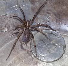 i ve been told they are wolf spiders or barn weavers my family and i would appreciate any insight you can give thanks angela port clinton ohio