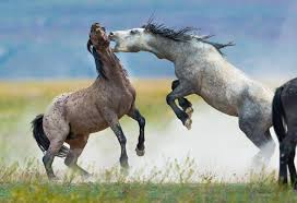 wild horses mustang fighting. Fine Fighting Photographs In This Gallery Are Of Various Mustangs Fighting All These  Photographs The Onaqui Herd Wild Horses Utahu0027s West  Intended Wild Horses Mustang Fighting C