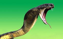 威嚇するコブラ