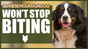 BERNESE MOUNTAIN DOG Jumping Up ...