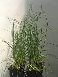 Bolcom 12 Stuks Pennisetum Alopecuroides Hameln In P9 Pot Het