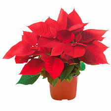 Weihnachtsstern Rot Topf ø Ca 11 Cm Euphorbia Pulcherrima