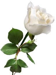 Znalezione obrazy dla zapytania róza na pogrzeb