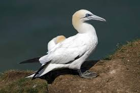 Image result for northern gannets