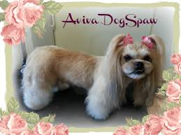 Lhasa Apso Diet Chart Lhasa Apso Asian Style Dog Groomer In Coquitlam Dogs Dog