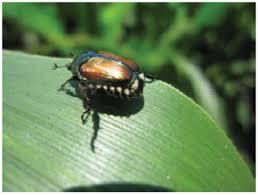 japanese beetles life cycle japanese beetles in corn and soybean fields