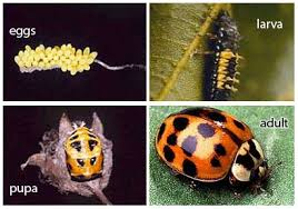 japanese beetles life cycle asian beetles how to kill and get rid of asian beetles bugs