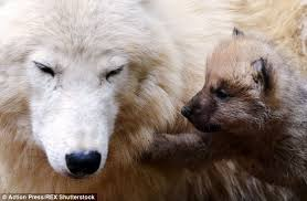 newborn white wolf pup. Brilliant Pup The Newborn Pup Prods Its Motheru0027s Face In A Bid To Attract Her Attention  At The For Newborn White Wolf Pup U