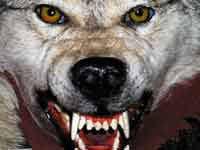 pitbull dog vs wolf. Simple Pitbull WOLF VS PITBULL To Pitbull Dog Vs Wolf