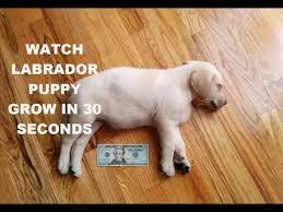 Watch A Labrador Puppy Grow In 30 Seconds Mikothelabradorninja