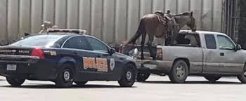 Horse Chills in The Back of Pickup Truck, at 55mph on Texas Highway ...