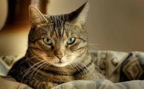 Доклад про кошек класс окружающий мир ДоклаДики доклад про кошек 2 класс окружающий мир