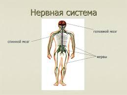 Урок в м классе Как устроен организм человека  Назад