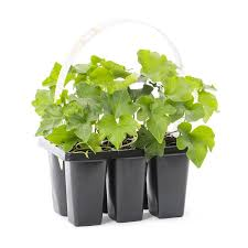 6-Pack in Tray English Ivy (L3258) in the Vines department at Lowes.com