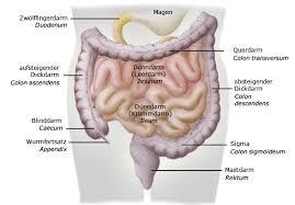 anatomie blinddarm