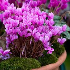 Image result for cyclamen