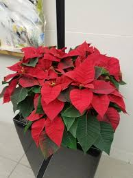 Growing and caring for <b>poinsettia</b>   UMN Extension