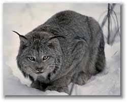 Рысь кошка рысь felis lynx рысь деликатес течка беременность  Рысь наше вам с кисточкой