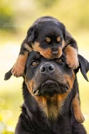 dodge dog breed.  Dodge Doge Dog Breed In Dodge Dog Breed R